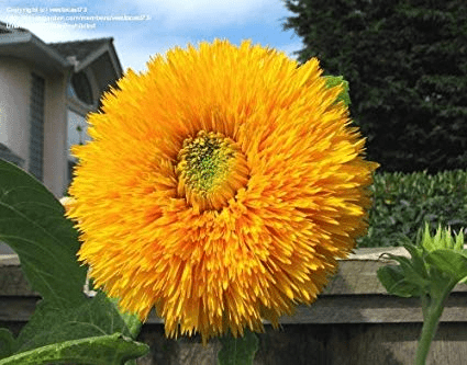 Giant Sungold Sunflower
