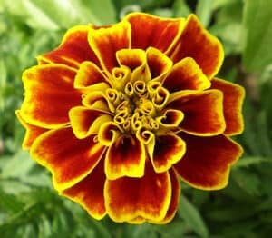 Yellow and deep red marigold flower shot from above