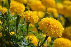 yellow marigold flowers in a field
